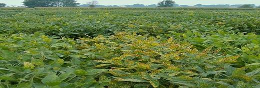 USDA - Soybean sudden death syndrome caused by a toxin producing fungus - http://www.ars.usda.gov/main/site_main.htm?modecode=50-12-05-00