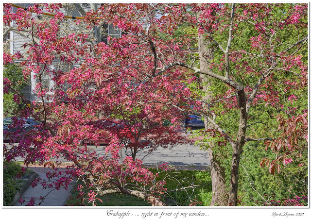 Crabapple: ... right in front of my window...