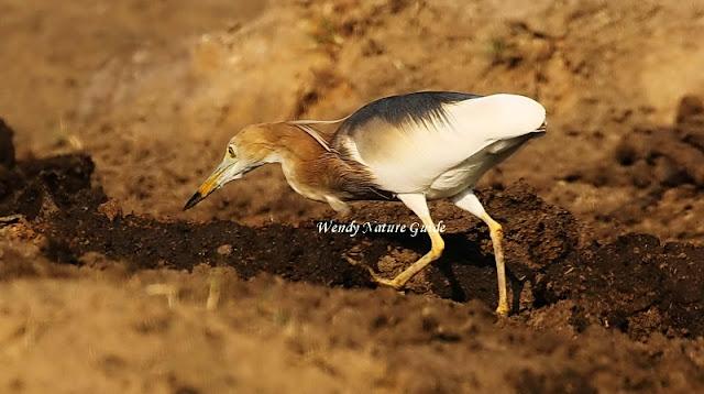 Langkawi bird
