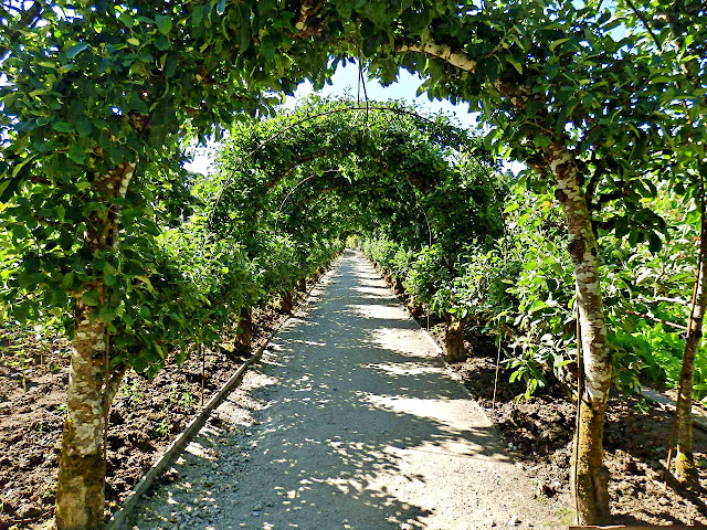 Archway of apple trees at Lost Gardens of Heligan