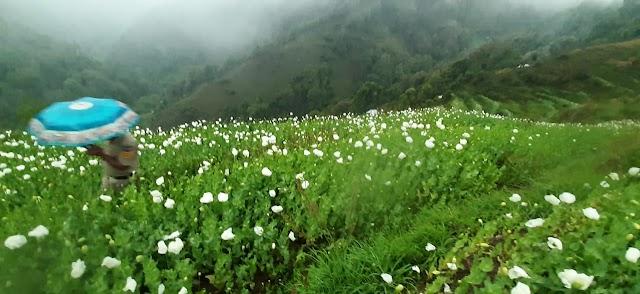 चौहारघाटी में पोस्त की अवैध खेती का भंडाफोड़, पोस्त के 15 लाख पौधे किए बरामद