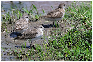 https://bioclicetphotos.blogspot.fr/search/label/B%C3%A9casseau%20minute%20-%20Calidris%20minuta%20KNY