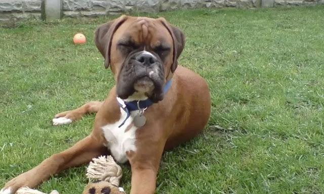 Σκύλος κλωνοποίηση κατοικίδιο