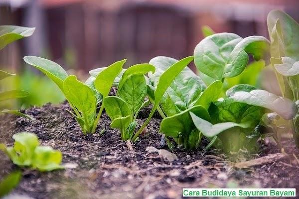 Cara Budidaya Sayuran Bayam