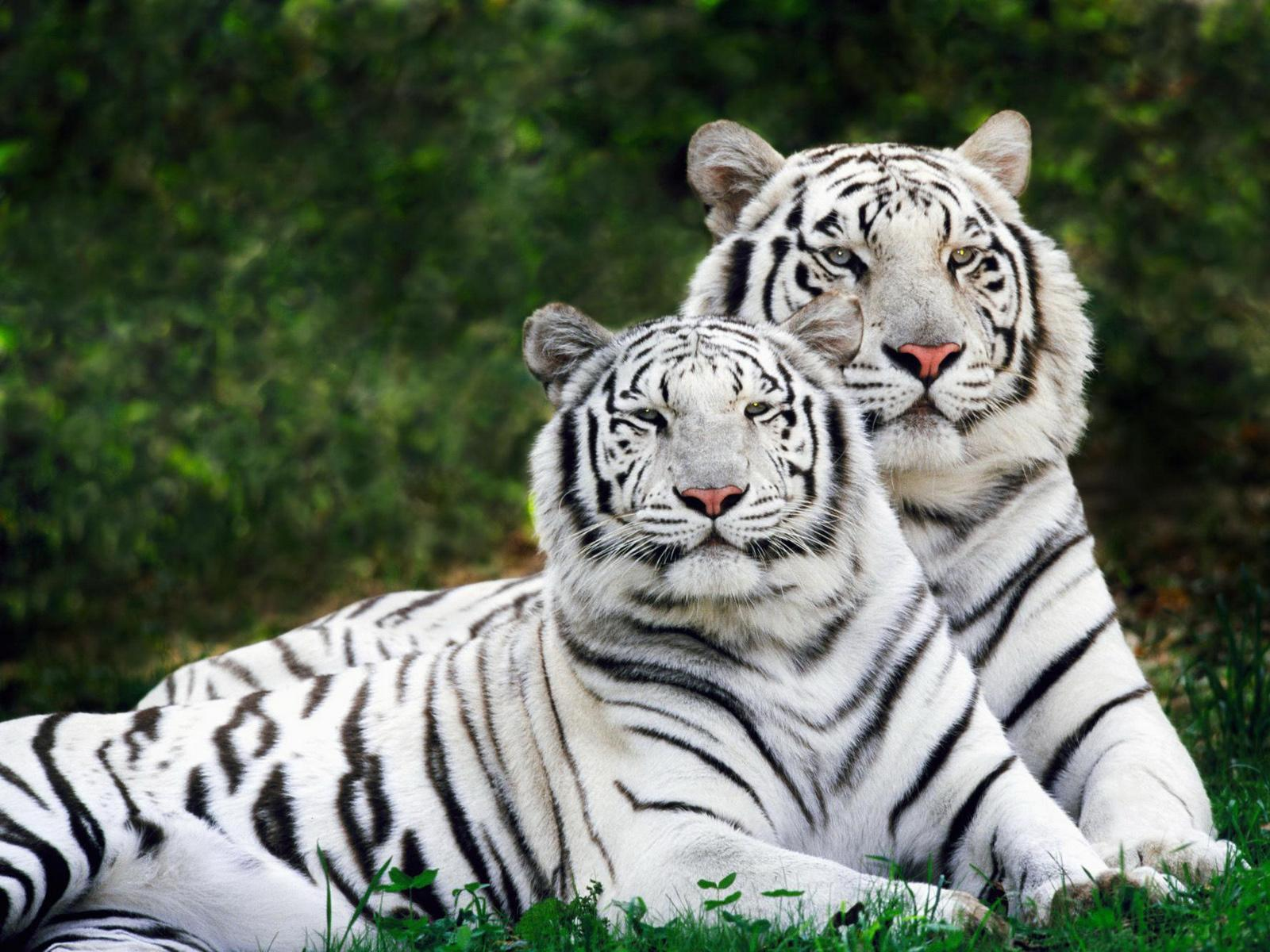 lion and tiger wallpaper - photo #24