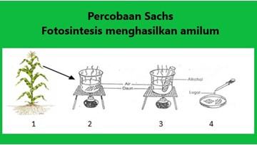 fotosintesis menghasilkan amilum pada percobaan sachs