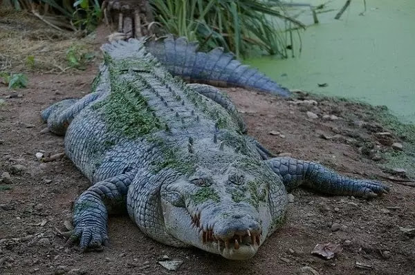 Contoh gambar reptil buaya