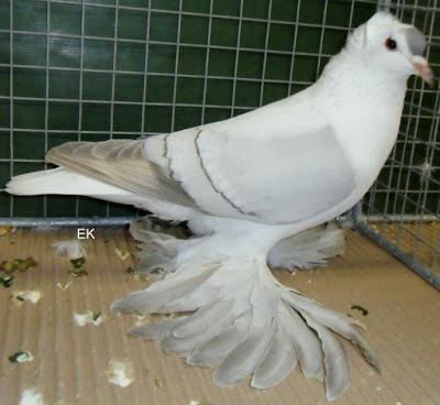 colour pigeons - saxon pigeons