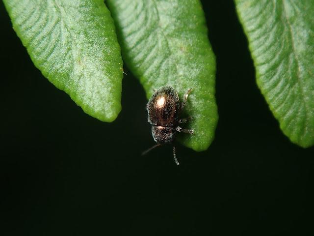 Colaspidea oblonga