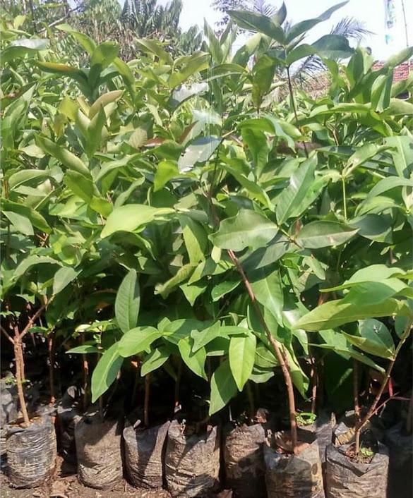 Bibit buah jambu madudeli unggul Kepulauan Riau