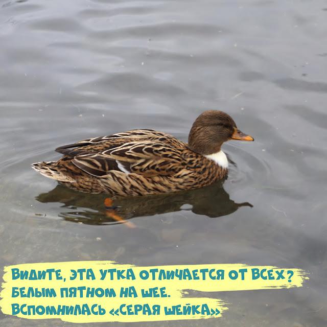 утка кряква. Симферополь