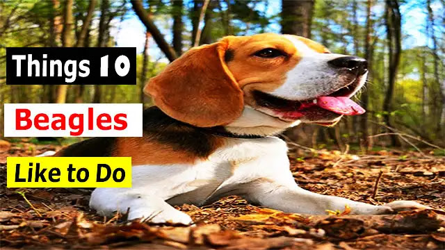 Find out 9 things that beagles love to do
