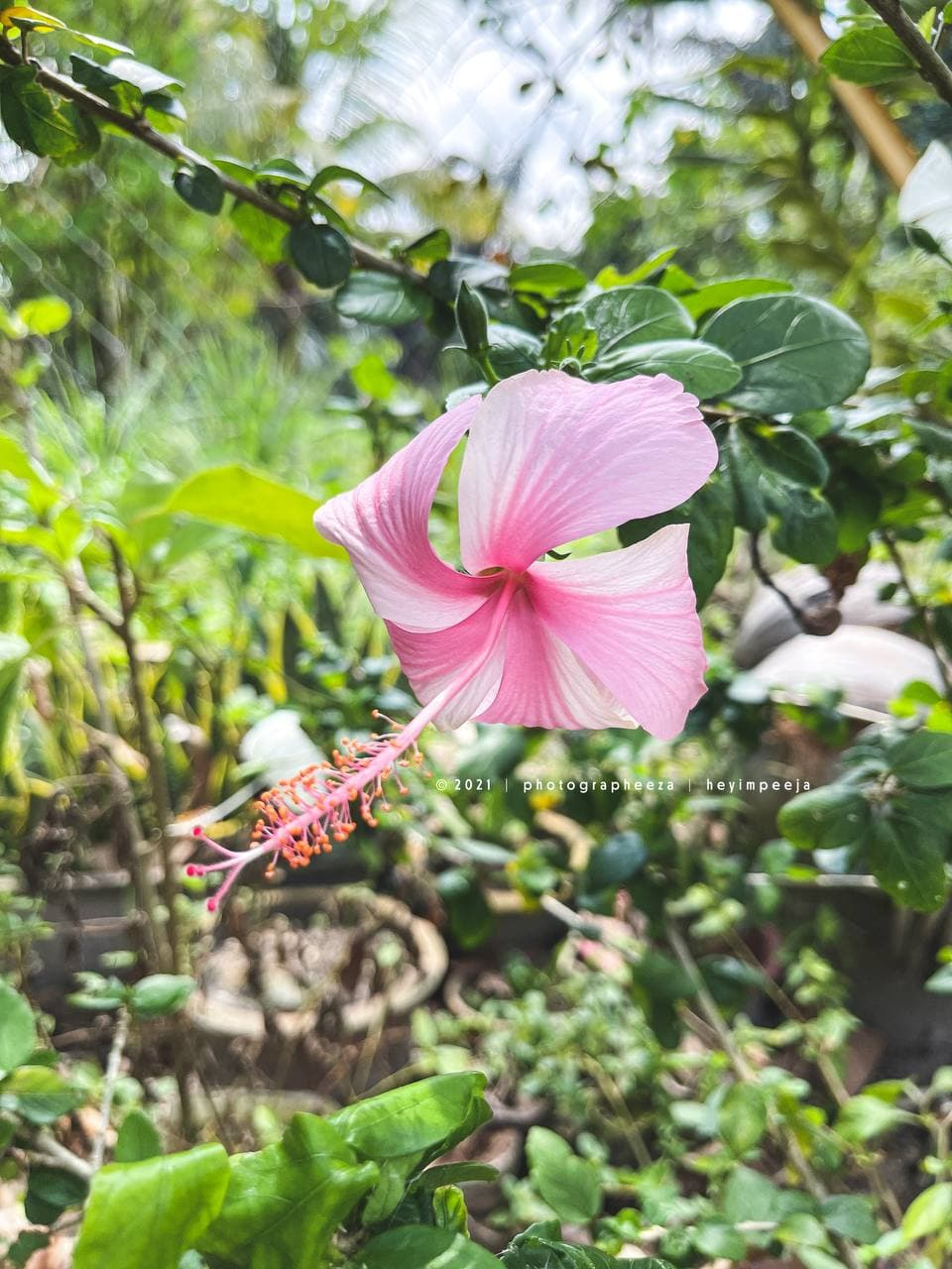 Bunga Raya Merah Jambu