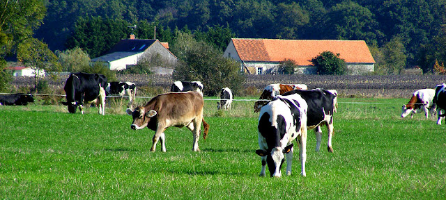 Dairy herd, Indre et Loire. France. Photo by Loire Valley Time Travel.