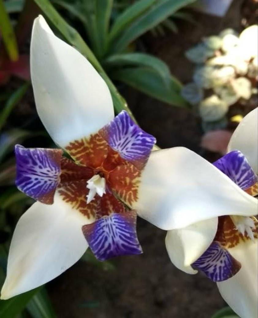 Neomarica Gracilis tanaman hias bunga iris biru putih airis Sumatra Utara