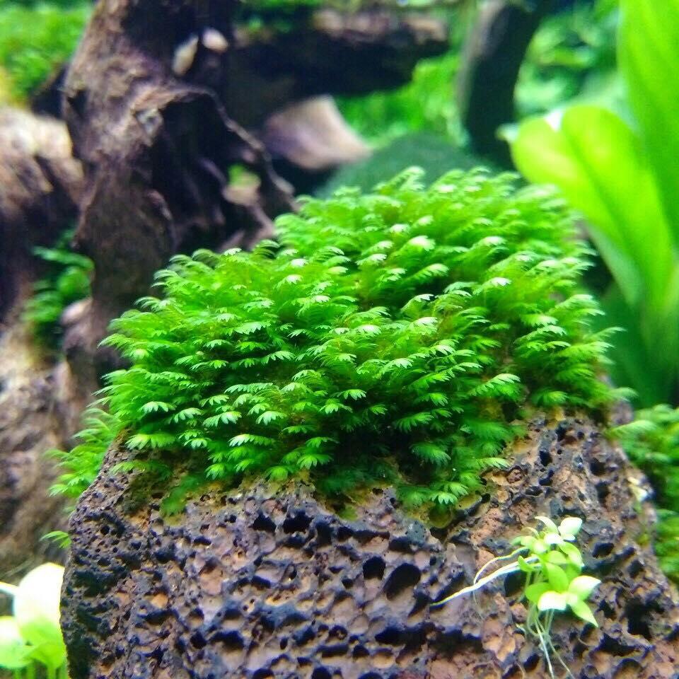 Rêu minifiss bám đá trong hồ thủy sinh