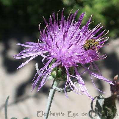 Centaurea flower and bee