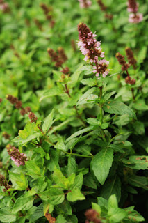 Medicinal Herb: Peppermint. Primarily for stomach ailments, IBS, nausea, indigestion, colds. 31Daily.com
