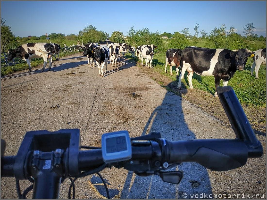 Лесные коровы около п.Гремячье