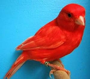 Seputar Ciri Kenari Merah ( Red Factor Canary ) dan Gambarnya