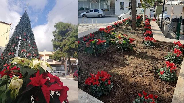 Χριστουγεννιάτικα λουλούδια γέμισε η πλατεία Κρανιδίου