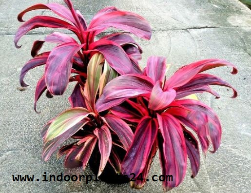 Cordyline Fruticosa indoor house plant picture