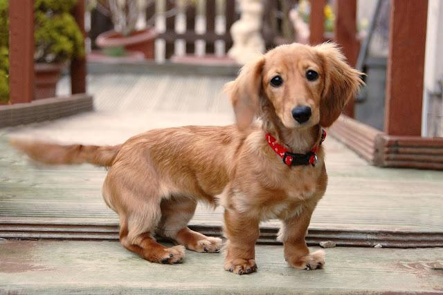 dachshund dachshund price dachshund puppies dachshund dog daschund mini dachshund dash puppy dachshund puppies for sale long haired dachshund dachshund puppy price black dachshund brown dachshund  dog puppies