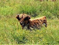 Szkocka rasa bydła