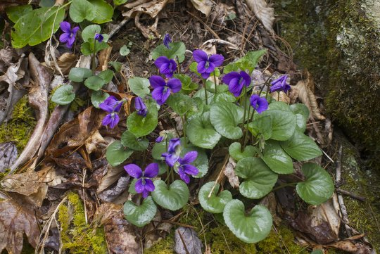 Great Smoky Mountain Common Blue Violets along Deep Creek
