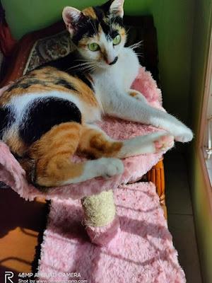 steril kucing betina panduan manfaat biaya dan pasca