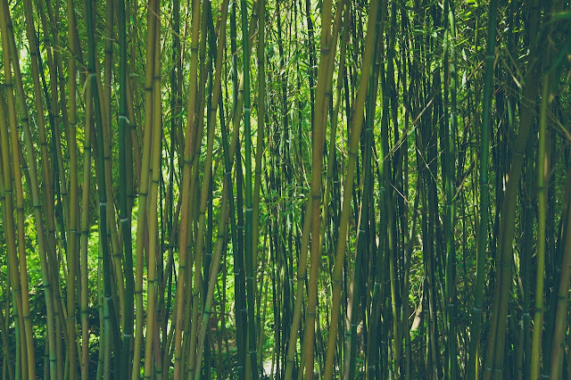 bamboo-farming-in-hindi