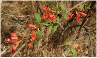 Woodfordia fruticosa (Linn.) Kurz