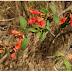 Woodfordia fruticosa (Linn.) Kurz. | Dhayti