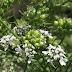 Medicinal uses of coriander (Coriandrum Sativum L)