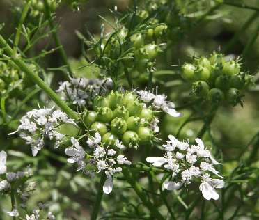 Coriandrum sativum L. (Coriander) is a member of the Apiaceae family (previously Umbelliferae)