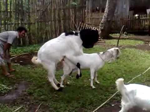 kambing dewasa kelamin siap kawin