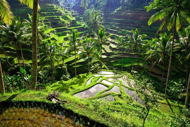 Ruộng bậc thang ở thành phố Ubud, Bali, Indonesia
