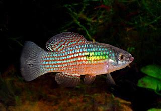 American flag fish