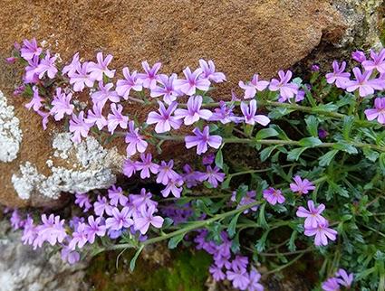 Erino de roca (Erinus alpinus) flor silvestre color lila