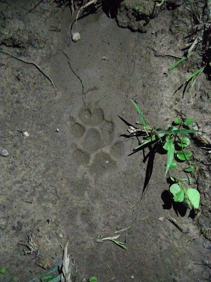 Rastro de Onça é encontrado por moradores da zona rural da cidade de Lima Campos...........