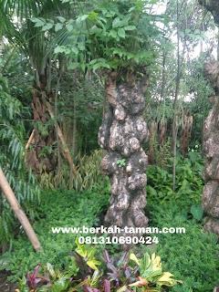 balibong pohon pelindung besar