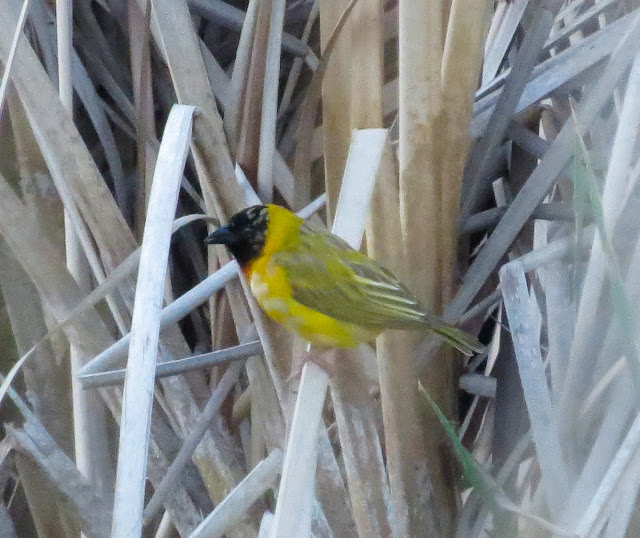 Black-headed Weaver - Quinta do Lago, Portugal