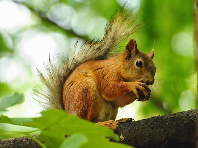 Squirrels Wallpapers