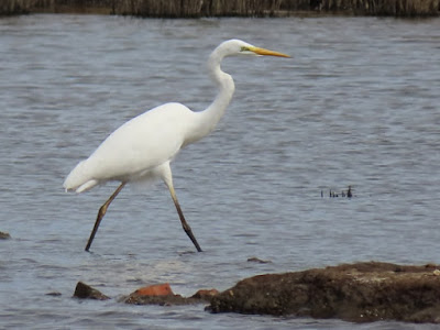 Great White Egret at Lodmoor © Clinton Whale.