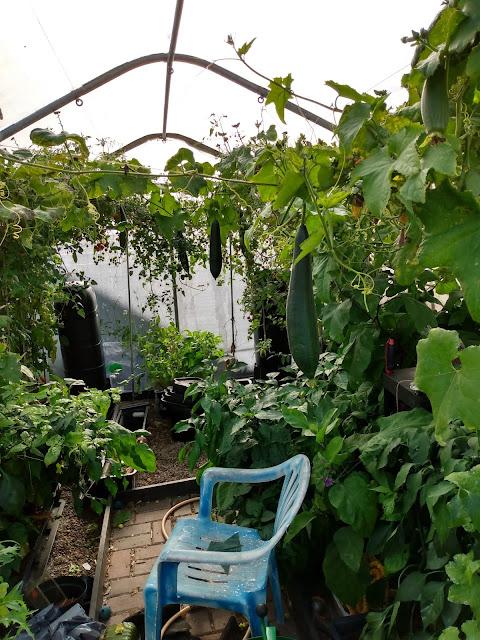 Loofah, luffa, growing, harvest, polytunnel, quadgrow