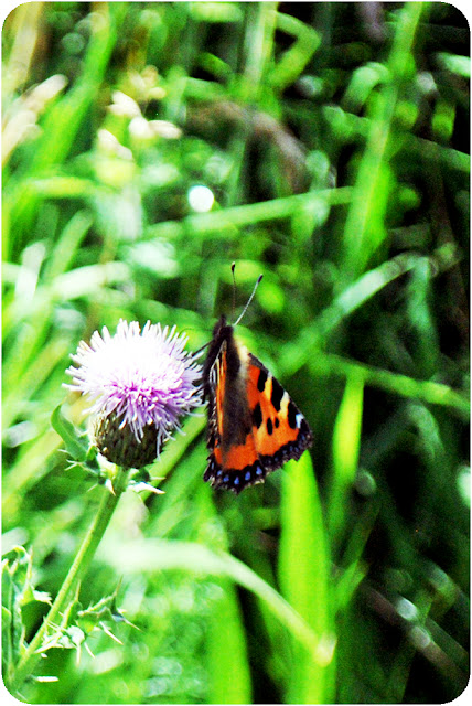 Red admiral butterfly - thistle