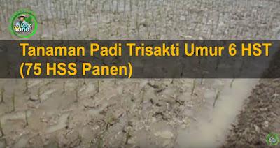 Tanaman Padi Trisakti Umur 6 HST (75 HSS Panen)
