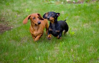 Anjing-mulia