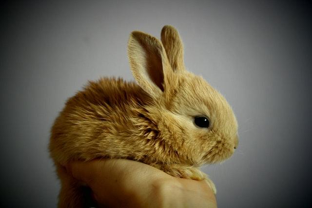Keunikan kelinci brainly