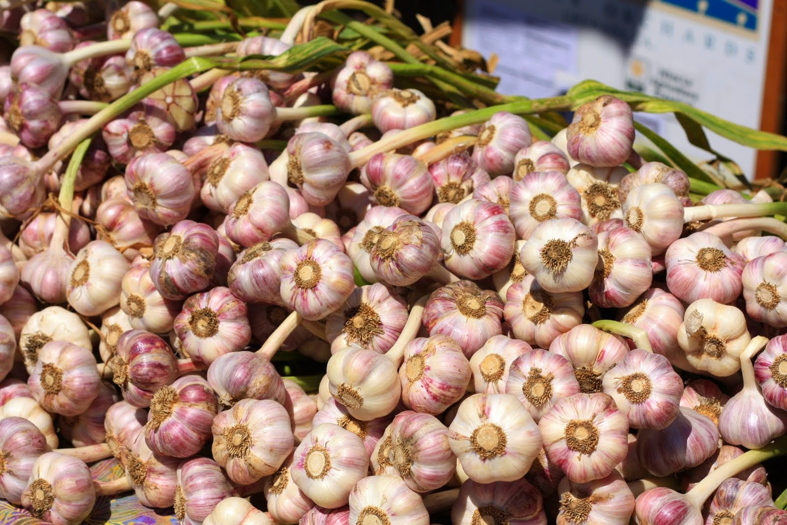 HOW TO GROW GARLIC FROM CLOVES |The Garden of Eaden